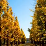 慶應大イチョウ並木